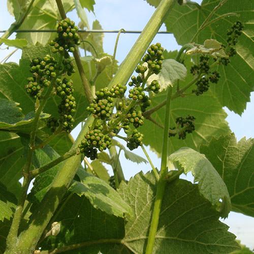 Hojas de la viña